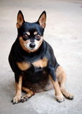 Black fat miniature pinscher. Portraits of a happy black fat lovely cute miniature pinscher dog smiling sitting on the concrete garage floor making funny face on stock photo