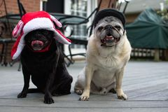 Black and fawn pug pals just hanging out. With their hats Royalty Free Stock Photos