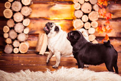 Black and fawn pugs playing near wooden fireplace. Royalty Free Stock Photo