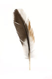 Black feather Stock Photography