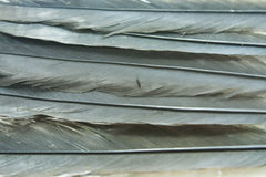 Black feather Stock Image