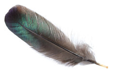 Black feather isolated Royalty Free Stock Images