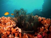 Black feather star underwater Stock Photo