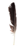 Black feather of a stork Stock Photography