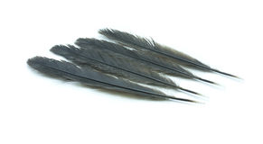 Black feather Stock Images