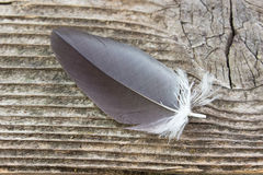 Black feather Royalty Free Stock Photography