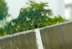 Black feather and yellow beak hang on concrete road or high way. Barrier Stock Images