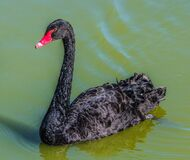 Black Featheres Red Beak Bird Swim on the Surface of Water Royalty Free Stock Images