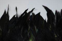 Black feathering 2. Black feathering on the white background Stock Photography