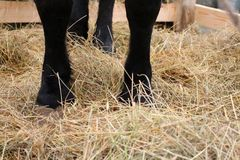 Black feet of the horse standing on the straw in the paddock on the farm royalty free stock image