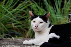 black feline white 免版税库存图片