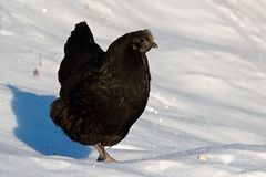 A black female breed Hedemora, out on days of snow and cold Royalty Free Stock Image