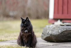A black female cat sitting outdoors. A black norwegian forest cat resting on a concrete pavement on an early spring day stock photos