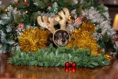 Female Dachshund dog wearing Christmas reindeer antlers royalty free stock images