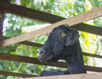 Black female goat in a pen Stock Photo