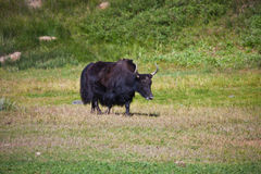 Black female Yak with horns is in a pasture in the Tien Shan mountains royalty free stock image
