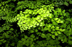 black fernmaidenhair Royaltyfri Foto