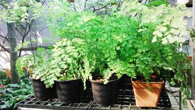 Black ferns in the green house. Black ferns in the green Stock Photography