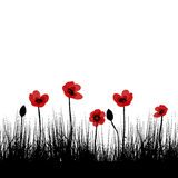 Black field with red poppies. Over white background Stock Photography