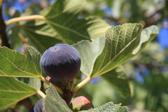 Black fig tree Stock Images
