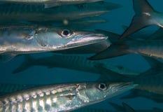 Black fin barracuda close up. A close up shot with strob of black fin or chevron barracuda Royalty Free Stock Photos