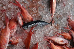 Black fin tuna on ice, with squirrelfish Stock Photos