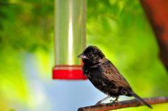 Black finch bird, Florida Stock Photo
