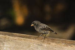 A black finch on a brench Royalty Free Stock Photography