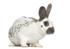Black fire rabbit stand up and isolated on white. Black fire rabbit isolated on white stock photography