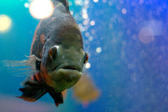 Black fish. A black tropial fish close-up stock photos