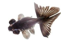 Black fish Royalty Free Stock Image