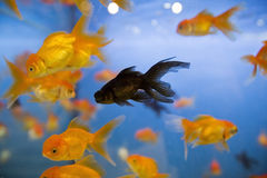 Black fish in aquarium. A black goldfish swims in a large fish tank full of regular goldfish Royalty Free Stock Images