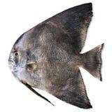 Black fish Royalty Free Stock Images