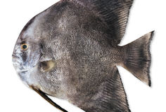 Black fish Royalty Free Stock Photography