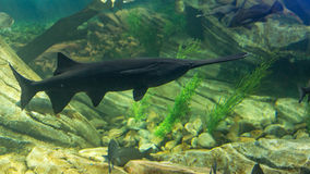 Black Fish on its environment Stock Photos