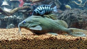 Black fish. Fish with mustach Stock Photos