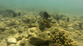 Black fish underwater shot. A wide shot of seabed with black fish underwater stock video
