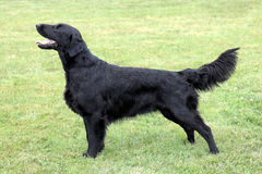 Black Flat Coated Retriever Royalty Free Stock Image