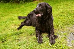 Flat coated retriever lies on the grass Royalty Free Stock Photography