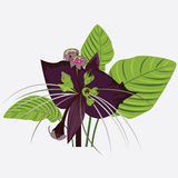 Black flower of devil with leaves Stock Images