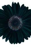 Black flower with path Royalty Free Stock Image