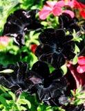 Black flowering petunia Solanaceae Stock Images
