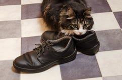 Black fluffy big cat sniffs men`s shoes.  stock photos