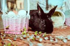 Bunny near basket with eggs. Black fluffy bunny near basket with eggs royalty free stock photo