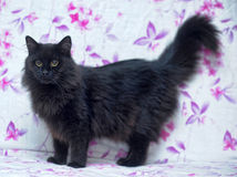 Black fluffy cat Royalty Free Stock Photos