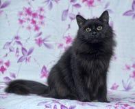 Black fluffy cat Stock Photo