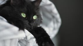 Black fluffy cat with green eyes lies wrapped in a blanket with its paws out.