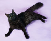Black fluffy cat with green eyes lying on purple Stock Image
