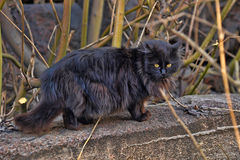 Black fluffy cat Stock Images