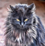 Black fluffy cat Stock Photo